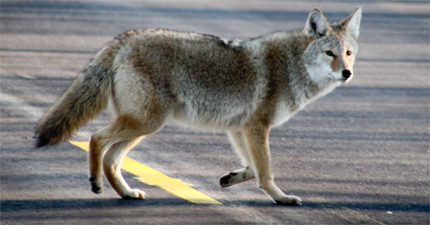 aggressive coyote encounters 122 st and 62 ave -  image by Shawn McCready