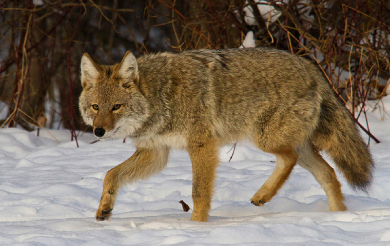 coyote photo by Shawn McCready