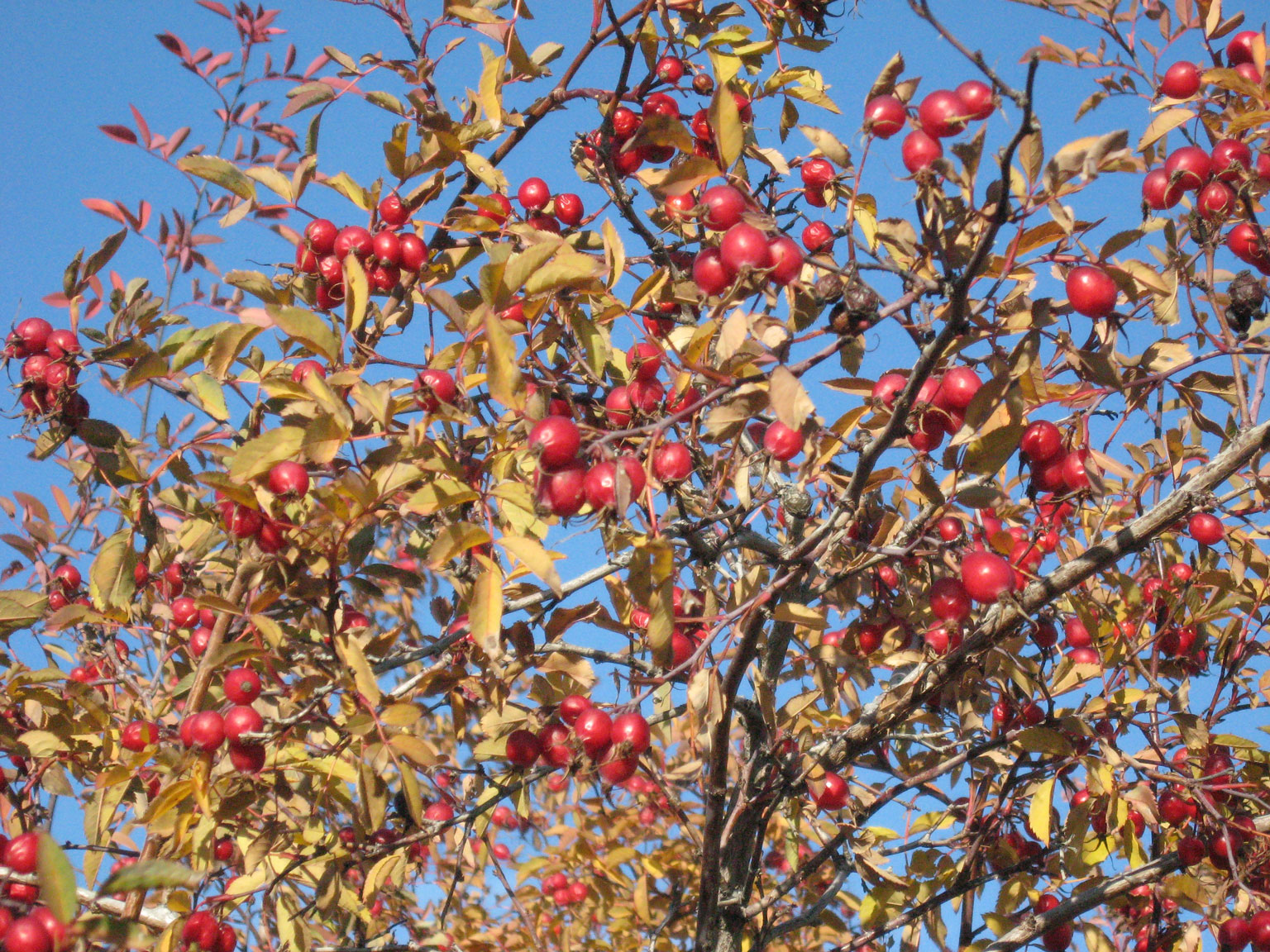 Abundant rose hips in the naturalized area Oct 2018 MK